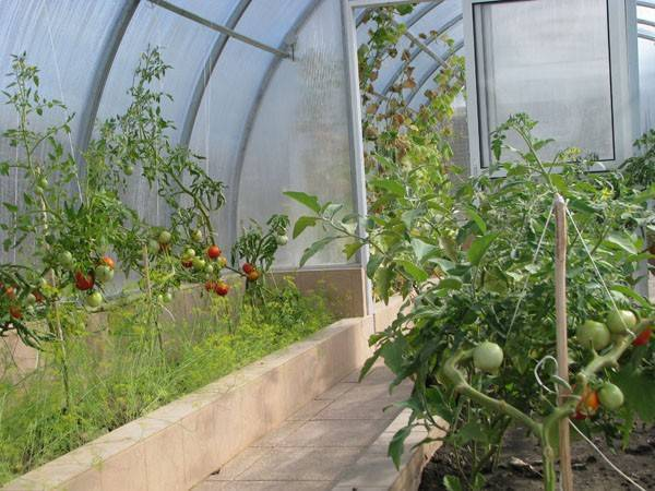 Чем подкормить помидоры после высадки в теплицу первый раз