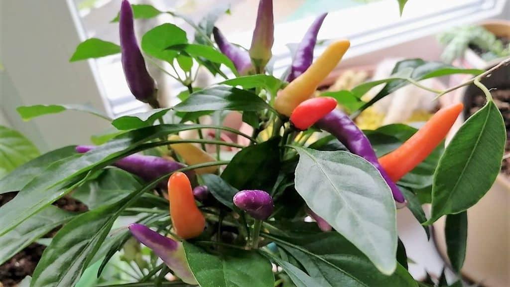 Декоративный перец: выращивание на подоконнике в домашних условиях