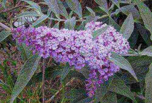 Буддлея - 78 фото превосходного цветущего осеннего кустарника