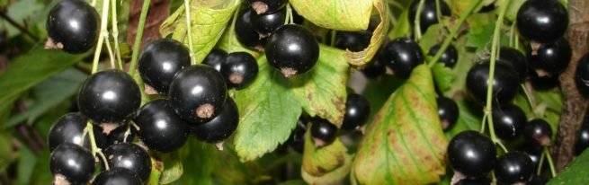Сорт черной смородины «добрыня»: описание, фото, отзывы