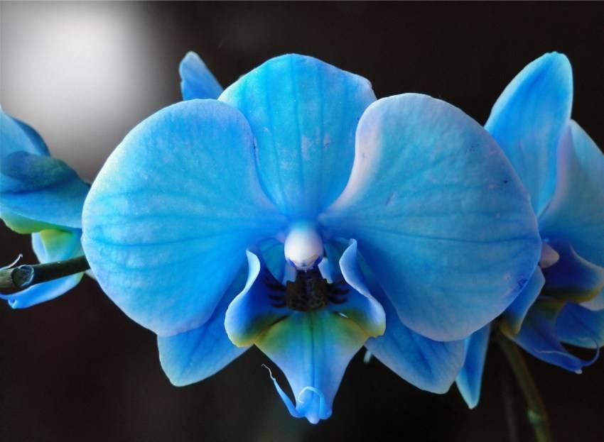 Как появился синий фаленопсис