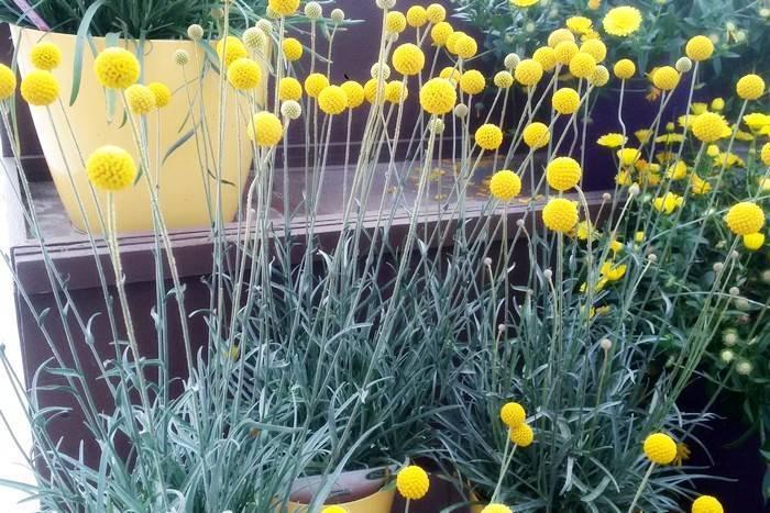 Шаровидные хризантемы: посадка и уход в открытом грунте, размножение, особенности выращивания - sadovnikam.ru