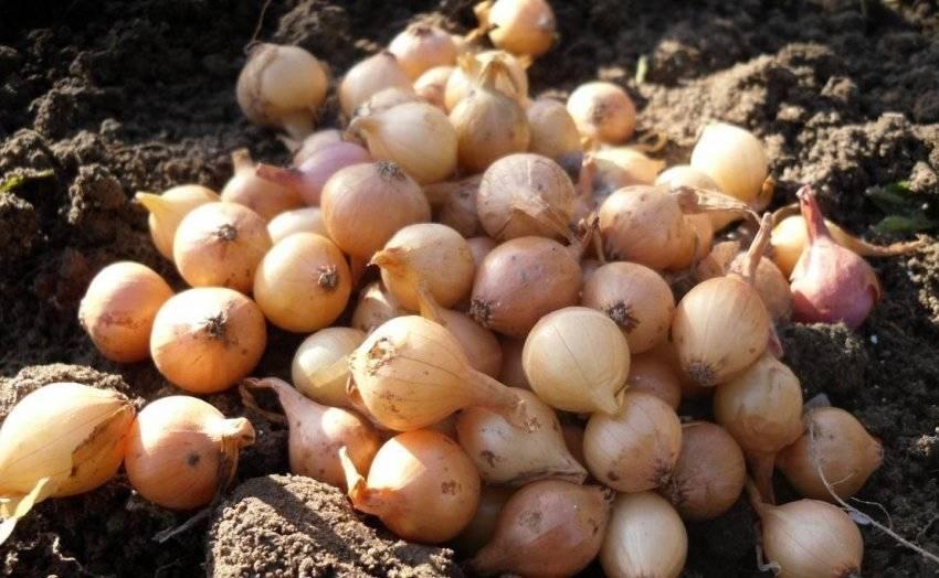 Как и чем обработать лук и землю перед посадкой осенью и весной