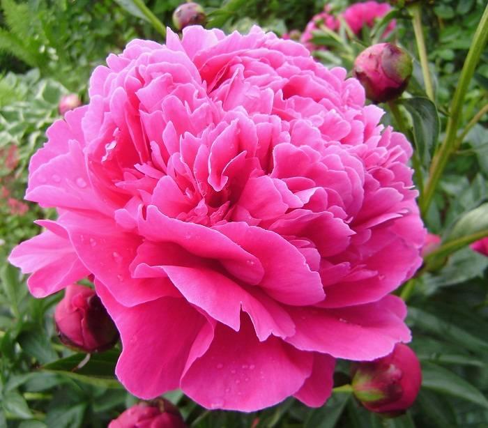 Канзас (пион) - король цветника. описание и особенности ухода
