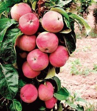 Колоновидные яблони для подмосковья: сорта с фото и описанием, отзывы