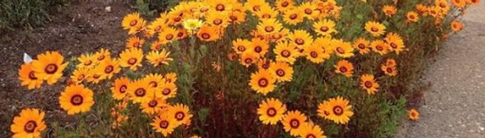 Выращивание цинии (42 фото): посадка и уход за цветами. как сажать семена на рассаду? как вырастить в открытом грунте? когда сеять?