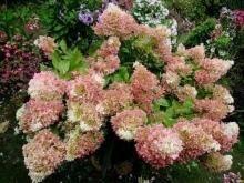 Выращиваем неприхотливую метельчатую гортензию «фантом» на даче