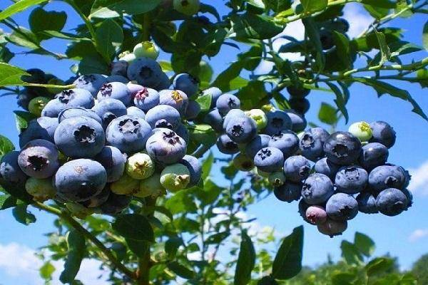 Голубика патриот: описание сорта, уход и выращивание, причины бледных листьев