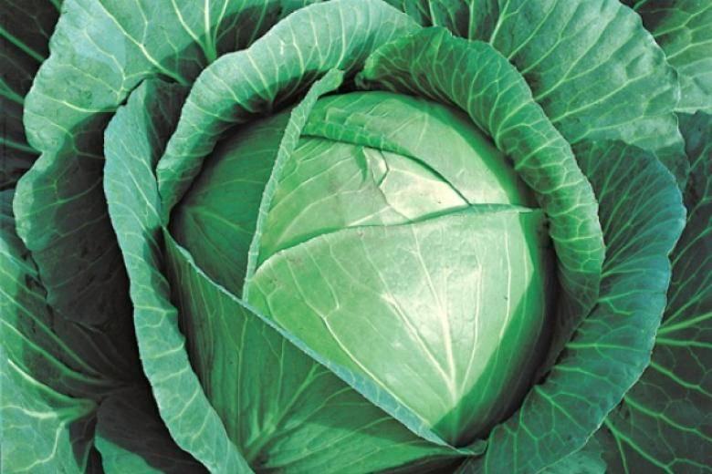 Капуста лангедейкер: описание сорта, отзывы, урожайность и фото