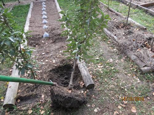 Осенняя пересадка яблони — когда провести процедуру