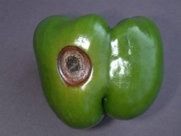 Болезни болгарского (сладкого) перца: фото и лечение