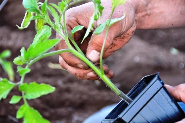 Что класть в лунку при посадке помидоров - удобрение для томатов, что добавлять весной, видео