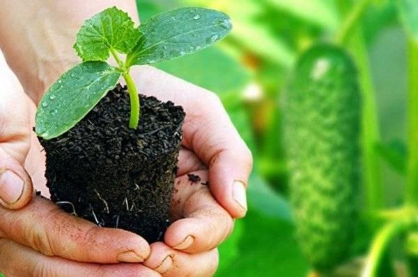 Когда сажать огурцы на рассаду для открытого грунта: как правильно сеять семена, подготовка грядки к высадке, а также правила пересадки и ухода за саженцами русский фермер