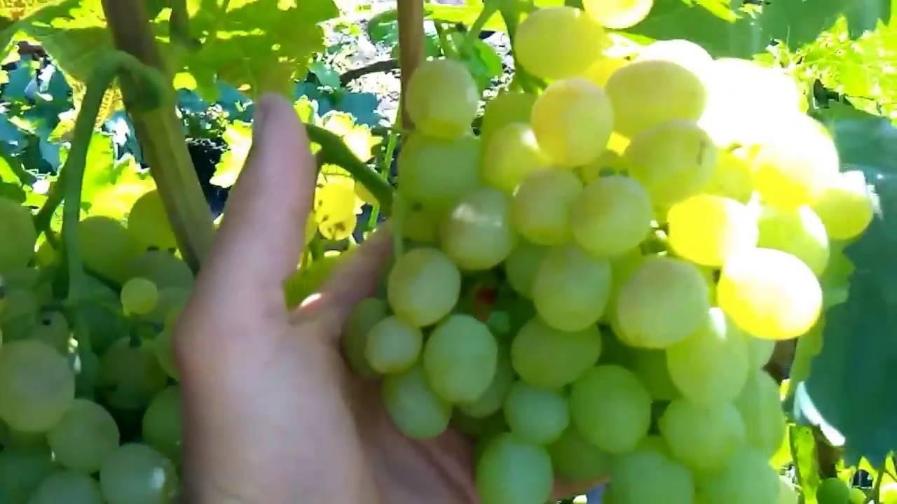 Разнообразие вкусов и ароматов: как вырастить виноград восторг на даче