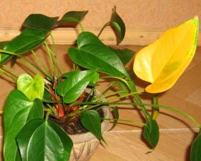 Почему желтеют листья у комнатных растений: переувлажнение, сквозняки, солнечный ожог