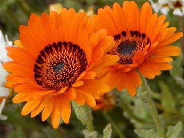 Венидиум выращивание из семян посадка и уход фото видов и сортов болезни и вредители - мы дачники