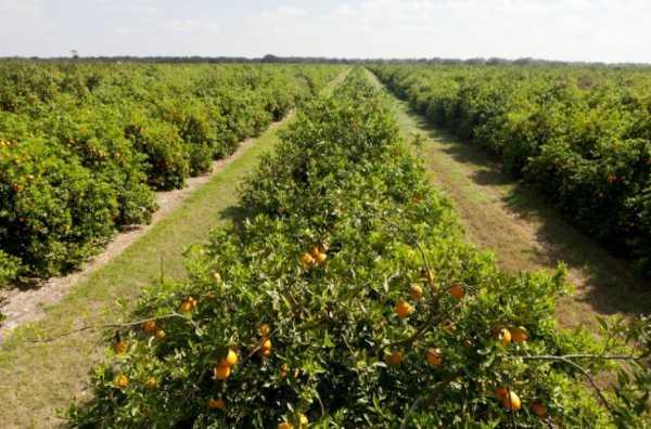 Апельсиновое дерево: что такое апельсин, это фрукт или ягода, как он цветет, где его родина, из чего состоят листья, строение и когда цветет, как выглядит