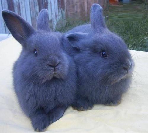Описание, разведение и уход за венскими голубыми кроликами