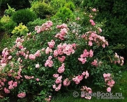 Полиантовые розы: описание и фото сортов, выращивание от посадки до ухода (с видео)