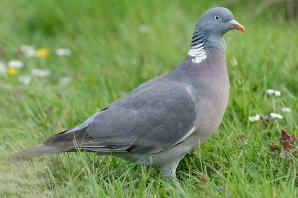 Голубь — виды и различия, особенности, полет, питание и размножение + 88 фото