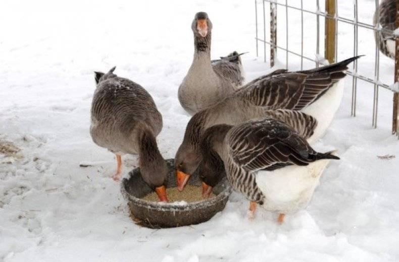 Кормушки для гусей своими руками — selok.info