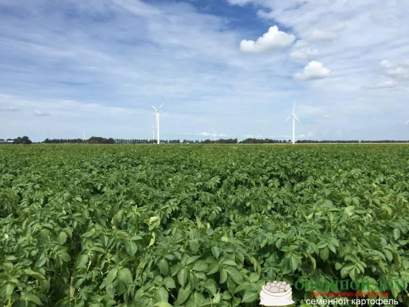 Выращивание картофеля по голландской технологии, в том числе методы посадки