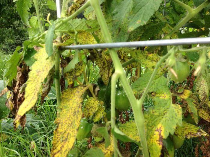 Особенности лечения фузариозного увядания томатов