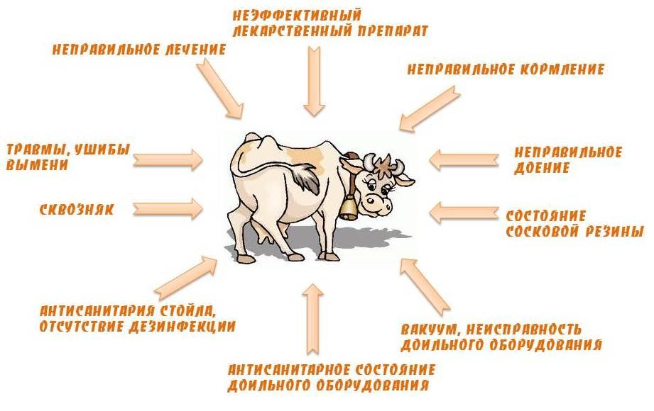 Мастит у коров: лечение народными средствами - сельское хозяйство