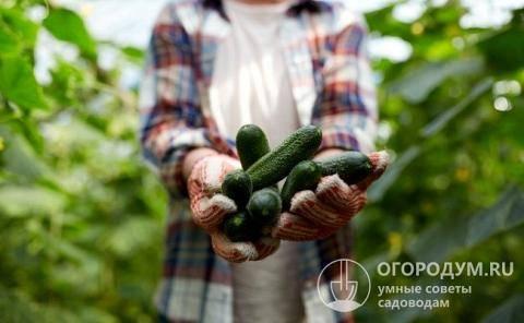 Огурец адам f1 описание сорта, фото, выращивание и использование плодов