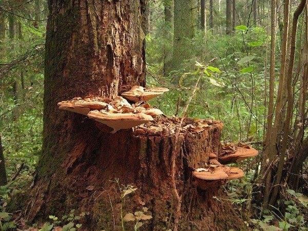 Какие грибы растущие на деревьях и пнях можно готовить? инструкция +фото и видео