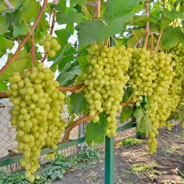 «лия» — столовая форма винограда раннего срока созревания