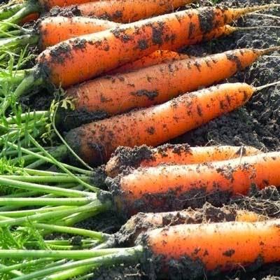 Как вырастить морковь крупную и сладкую