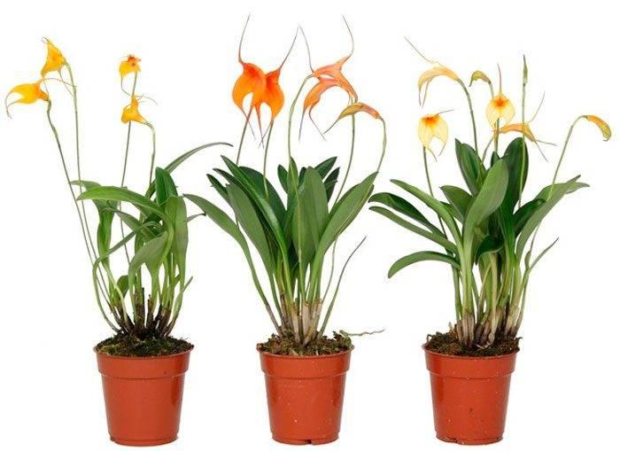 Орхидея лудизия: уход в домашних условиях, пересадка, грунт