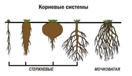 Особенности корневой системы моркови