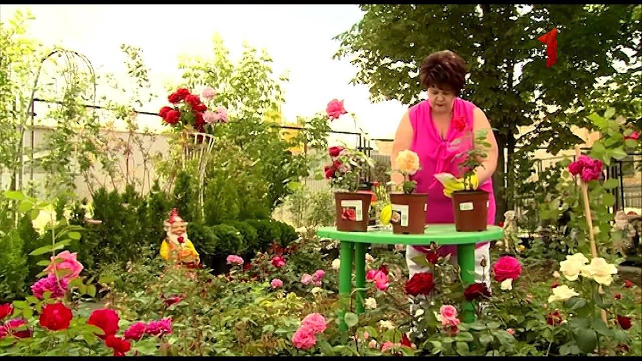 Голландские розы: фото сортов с названием и описанием, особенности выращивания и размножения