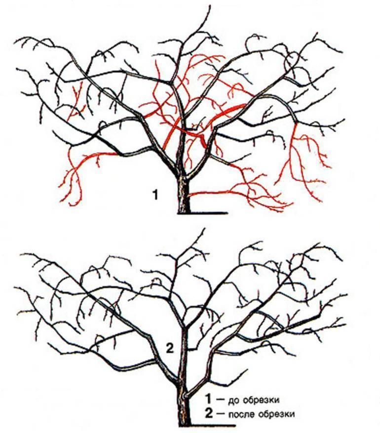 Правильная обрезка сливы весной и осенью, схема, видео для начинающих