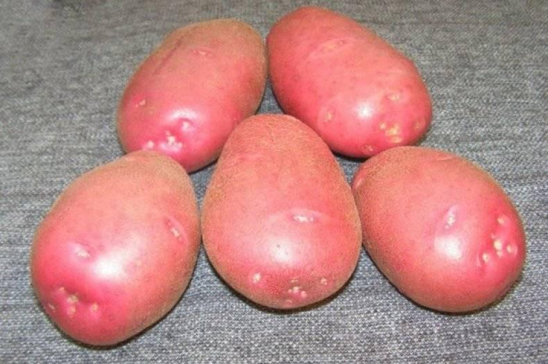 Немецкое качество на наших грядках: картофель «рамос» — описание сорта с подробной характеристикой и изобильными фото