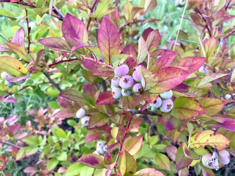 На голубике краснеют листья: что с этим делать