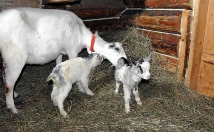 Почему коза стала давать мало молока 2021