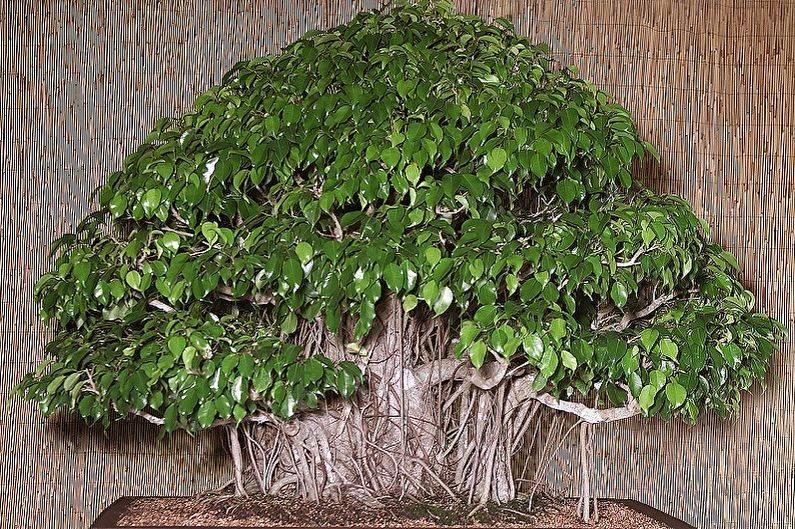 Фикус «кинки» (34 фото): уход за разновидностью фикуса бенджамина в домашних условиях, пересадка после покупки. что делать, если у фикуса опадают листья?