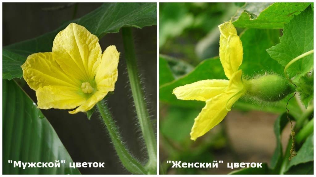 Цветение огурца: женский и мужской тип — selok.info