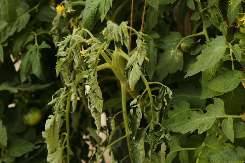 Причины увядания листьев у рассады томатов