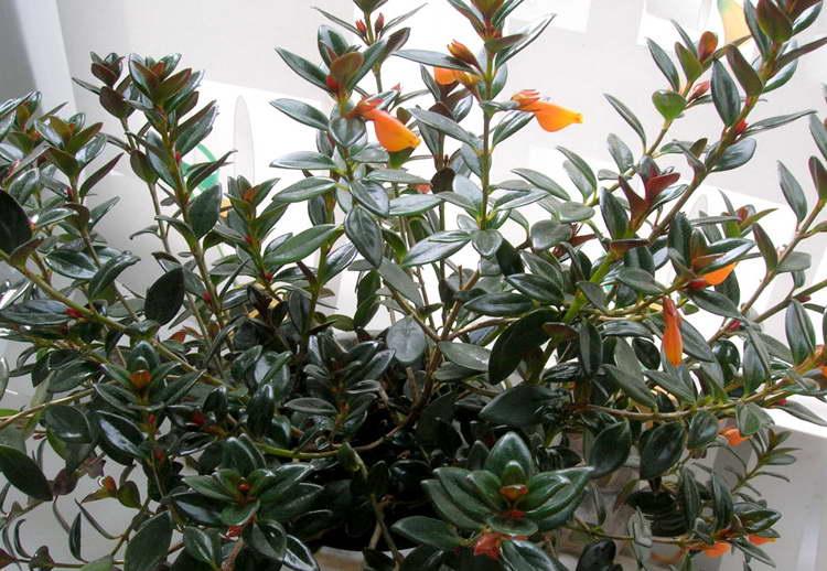Прекрасное украшение любой квартиры — комнатное растение «гипоцирта»