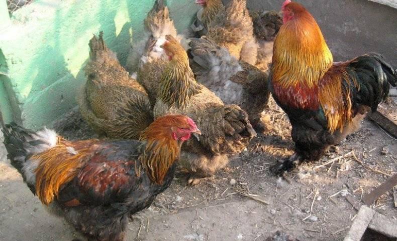 Как долго могут куры нести оплодотворённые яйца без петуха?