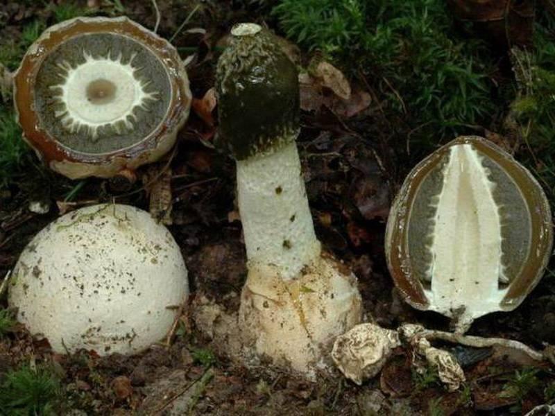 Гриб веселка – фото и описание, как принимать и выращивать