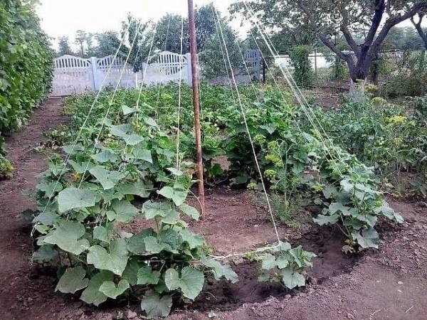 Почва для огурцов - как подготовить осенью и весной перед посадкой?