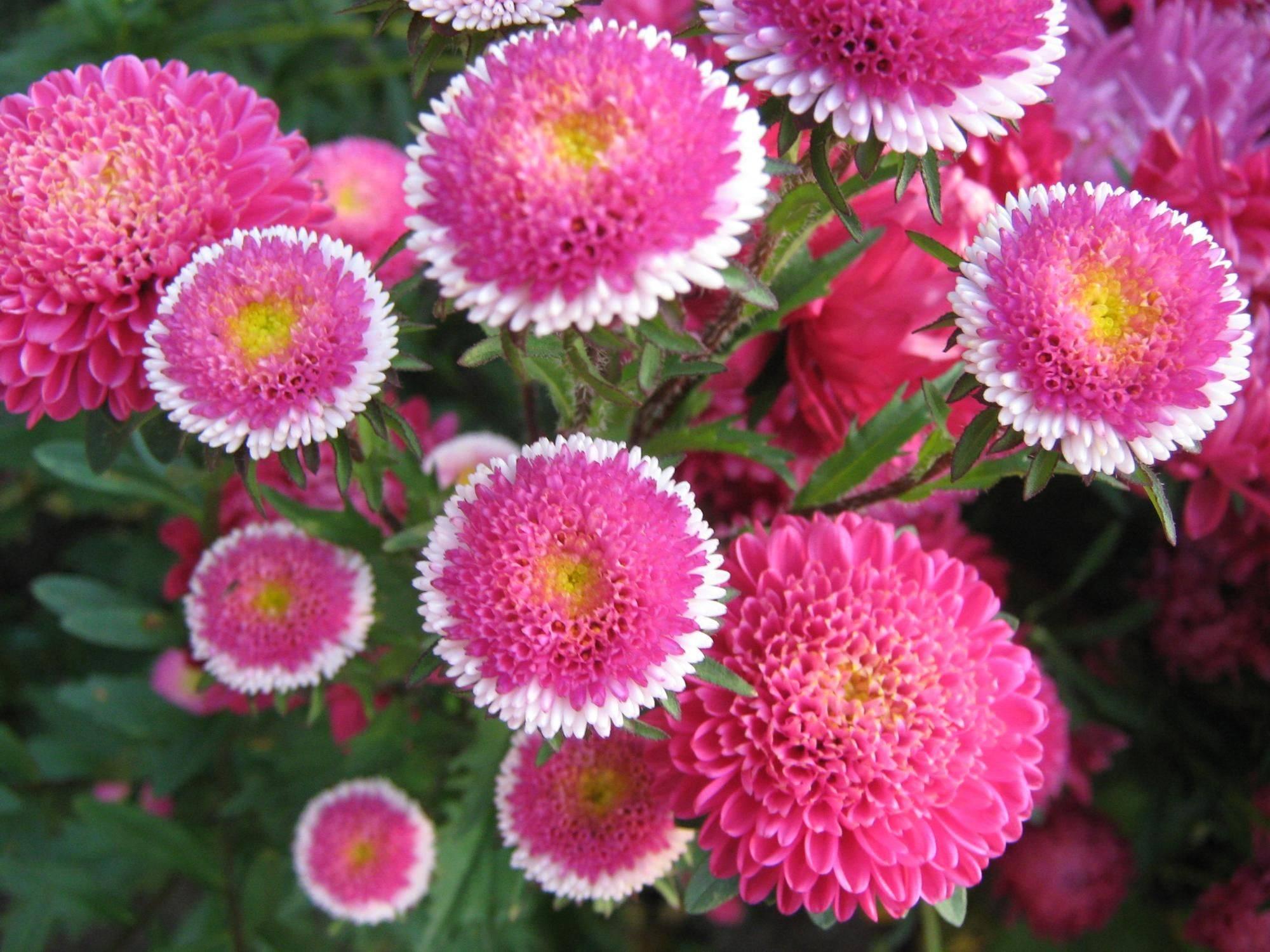 Астры: виды, сорта и советы по выращиванию