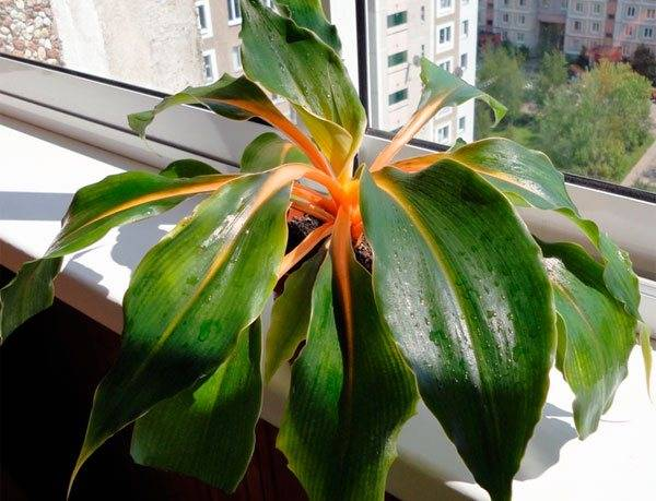 Цветок хлорофитум: сорта, посадка и уход в домашних условиях, желтеют листья что делать, полив, пересадка, размножение, фото