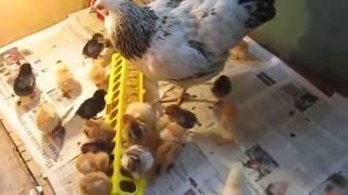 Сколько времени необходимо курице, чтобы высидеть яйца с цыплятами