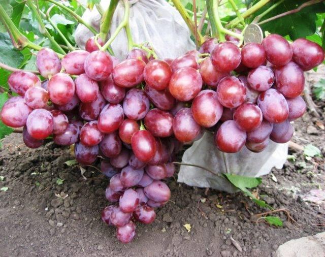 Сорт винограда фавор: описание и характеристика гибридной формы с фото и отзывами